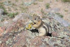 金黄被覆盖的地松鼠 库存图片