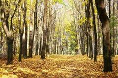 金黄走道在蓝天的晴朗的秋天10月森林里 库存照片