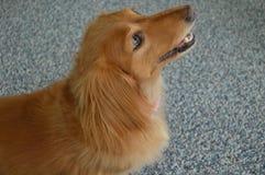 金黄达克斯猎犬画象 库存照片