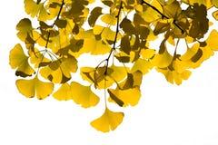 金黄银杏树叶子 免版税库存照片