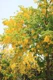 金黄阵雨在泰国 库存图片