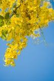 金黄阵雨开花的美丽的花与清楚的蓝天的( 库存照片