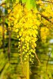 金黄阵雨或桂皮瘘花在庭院里 库存照片