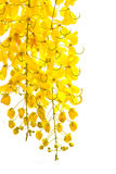 金黄阵雨桂皮瘘,在夏时的美丽的花 免版税库存图片