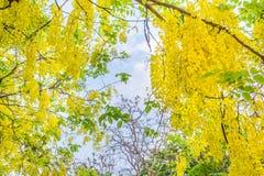 金黄阵雨花在清迈泰国 库存照片