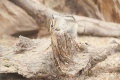 金黄陆运被覆盖的灰鼠 免版税图库摄影