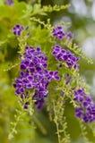 金黄露滴,鸽子莓果,天空花(Duranta erecta) 图库摄影