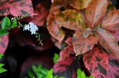 金黄露滴,鸽子莓果,天空花Duranta erecta 免版税库存照片