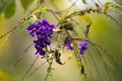 金黄露滴,鸽子莓果, Duranta repens,天空花 免版税图库摄影