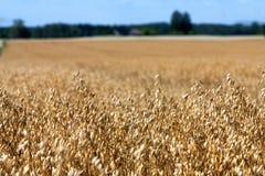 金黄领域与天空和森林的被播种的谷物庄稼 免版税库存照片