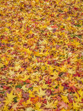 金黄鸡爪枫叶子在秋天 免版税库存图片