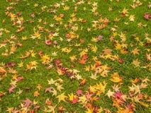 金黄鸡爪枫叶子在秋天 免版税库存照片