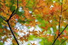 金黄鸡爪枫离开在秋天期间在京都,日本 图库摄影