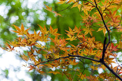 金黄鸡爪枫离开在秋天期间在京都,日本 库存图片