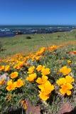 金黄鸦片在蒙特里,加利福尼亚,美国附近开花 免版税图库摄影
