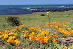 金黄鸦片花,加利福尼亚,美国 图库摄影