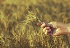 金黄麦子的成熟,干燥耳朵在一个领域的在他的手农艺师的日落 免版税库存照片