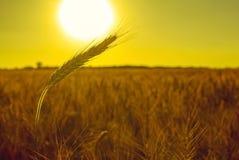 金黄麦子的成熟,干燥耳朵 免版税库存图片