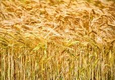 金黄麦子的耳朵特写镜头  免版税库存图片