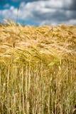 金黄麦子的耳朵特写镜头  免版税图库摄影