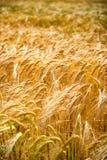 金黄麦子的耳朵特写镜头  免版税库存照片