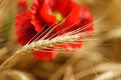 金黄麦子的领域与红色鸦片的开花 库存图片