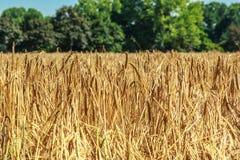 金黄麦子的领域作为背景的 库存照片