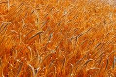 金黄麦子的领域 库存图片