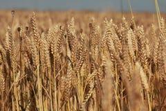 金黄麦子的领域 免版税库存照片