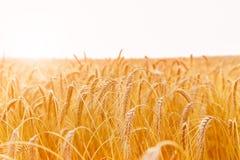金黄麦子耳朵或黑麦特写镜头 黑麦一片新鲜的庄稼  领域  图库摄影