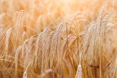 金黄麦子耳朵或黑麦特写镜头 黑麦一片新鲜的庄稼  领域  免版税库存照片