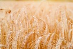 金黄麦子耳朵或黑麦特写镜头 黑麦一片新鲜的庄稼  领域  库存照片