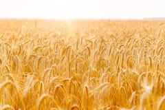 金黄麦子耳朵或黑麦特写镜头 黑麦一片新鲜的庄稼  领域  免版税库存图片