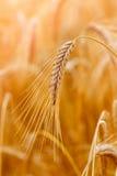 金黄麦子耳朵或黑麦特写镜头 黑麦一片新鲜的庄稼  领域  免版税图库摄影
