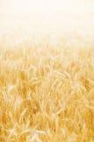 金黄麦子背景 库存照片