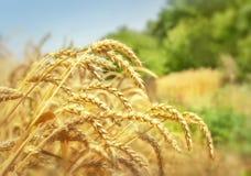 金黄麦田和树 免版税库存照片