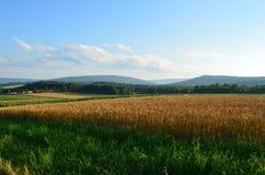 金黄麦田和蓝天在一个晴朗的夏日 免版税库存照片