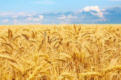 金黄麦田,麦子新鲜的庄稼  库存图片
