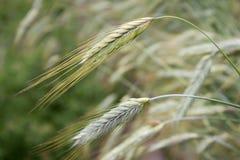 金黄黑麦Secale cereale,特写镜头 免版税库存照片