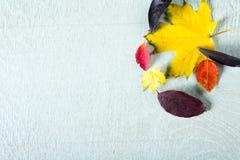 金黄,黄色,桔子和紫色叶子在蓝色木背景 图库摄影