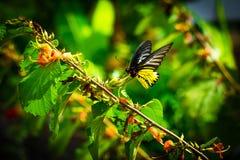 金黄birdwings 免版税库存图片