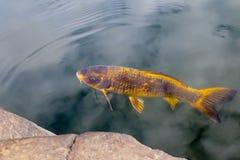 金黄Koi鲤鱼和秋天叶子运河 免版税库存图片