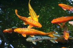 金黄kois在庭院池塘 免版税库存照片