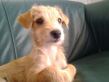 金黄pappie逗人喜爱的选址长沙发狗 库存照片