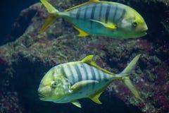 金黄trevally Gnathanodon speciosus 库存图片