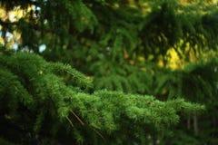 针叶树分支 库存图片