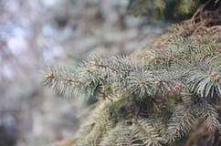 针叶树分支 库存照片