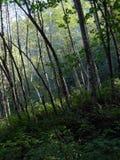 针叶树剪影与森林的在背景中 库存照片
