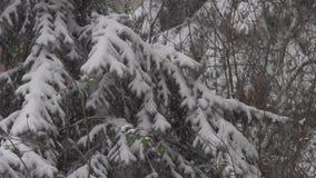 针叶树和大雪 股票视频