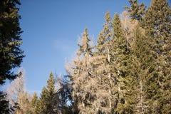 针叶树在森林里 免版税库存照片